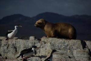 das Zusammenleben der Seeloewen mit den Kormoranen