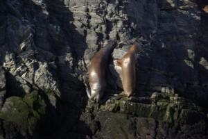 Seeloewen beim Klettern auf den Felsen