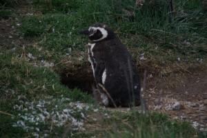 Pinguin bewacht sein Nest