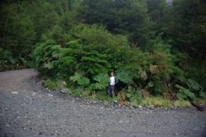 kalter Regenwald mit Riesenrhabarber