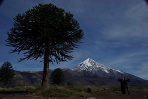 eine Araukarie, der aelteste Baum de Welt - faszinierend fuer Dani :-) im Hintergrund der Vulkan Lanin