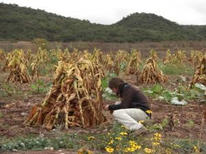 Tabakpflanzen beim Trocknen am Weg kurz nach El Carril