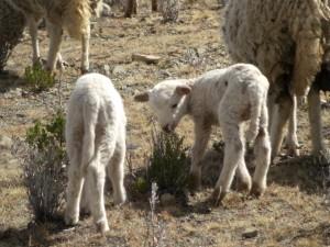 Schafe sind allgegenwaertig - und echt lieb :-)