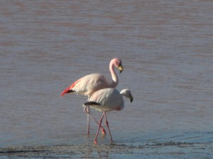 Flamingos in der Laguna Colorada