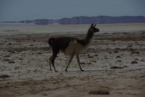 ein Lama am Weg zum Salzsee