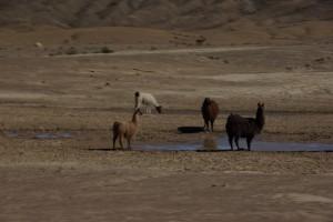 Lamas am Weg - das wichtigste Nutztier im Andenhochland
