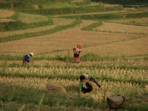 Harte Arbeit auf den Feldern - aber wunderschoen anzuschauen