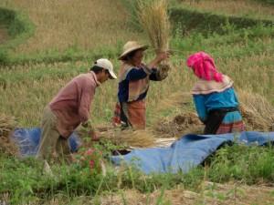 Manchmal wird der Reis auch direkt auf den Feldern von den Aehren geschlagen