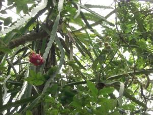 Allerhand exotische Fruechte wachsen im Delta - hier Danis Liebling, die Drachenfrucht...