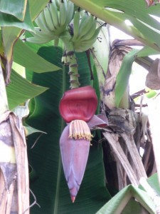 ... natuerlich Hunderte von Bananenpalmen - hier in voller Bluete...