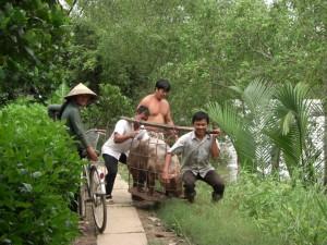 Schweine werden auf ein Boot geladen fuer den Transport zum Markt