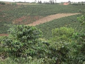 Im zentralen Hochland wird massiv Kaffee angebaut - vor allem Robusta.