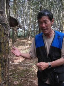 Auch sehr interessant die Kautschukplantagen - Mr. Thai demonstriert...