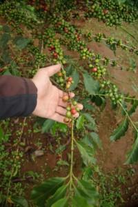 Ahaaaa, so also waechst Kaffee - die roten Fruechte werden geerntet und enthalten jeweils 2 Kaffeebohnen