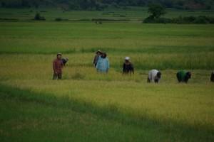 ...und Reisfelder - hier beim Abernten des reifen Reis.