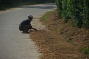 Reisstrohtrocknen auf der Dorfstrasse - viel Verkehr ist eh nicht...