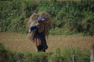Der geschnittene Reis wird abtransportiert - die Frau in der farbenpreachtigen Tracht der Blumen - Hmong