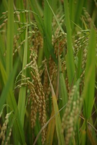 Der Lohn der harten Arbeit - der Reis kurz vor der Ernte