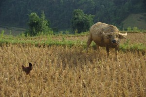 ...und wenn der Reis geerntet ist duerfen die Wasserbueffel und die Huehner aufs Feld.
