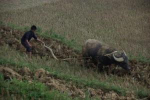 ...aaaaber vor dem Essen wird gearbeitet - Bueffel helfen beim Pfluegen der Felder.