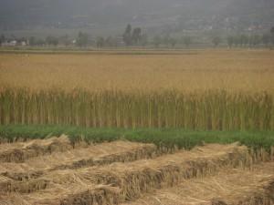 Der Reis steht in voller Frucht und wird geerntet