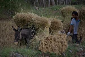 Eselen und Besitzer tragen schwer an der Reislast, die sie das ganze folgende Jahr ernaehren muss