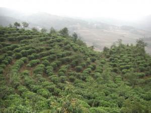am Heimweg sahen wir dann zur Abwechslung mal keine Reisterassen :-), sondern eine Teeplantage