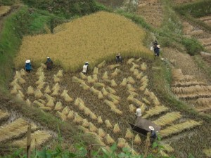 aber auch sehr viele Leute, die gerade dabei waren den Reis zu ernten