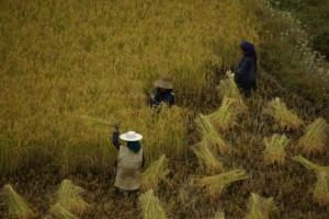 sorgfaeltig wurde der Reis buendelweise abgeschnitten
