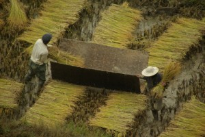 und dann wird anschliessend gleich der Reis von den Aehren gedroschen