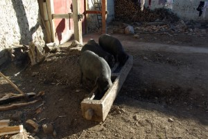 ...die Schweine werden im Hof gefuettert...