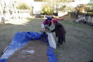 Die Beiden beim Einholen der zum Trocknen ausgebreiteten Gerste fuer die Tsampa