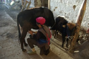 Grossmutter melkt die Yak-Kuh Kreuzung - super Milch!!!