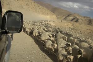 am Weg versperrt uns eine riesengrosse Schafherde den Weg....suesse Tierchen :-)