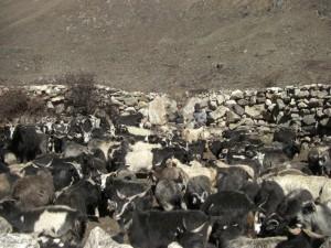 ...tibetische Schafhirten mit ihrer Herde am Weg...