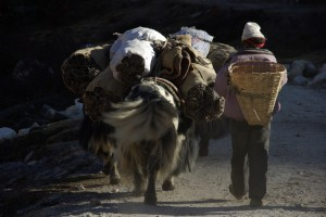 ...die Tiere sind vollbeladen und die Treiber sammeln noch am Weg trockene Fladen auf