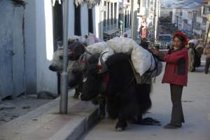 ...zottige, schwarze Tiere mit langen Hoernern - fast zum fuerchten :-)