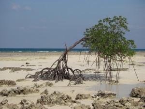 EIn Strandspaziergang vorbei an einsamen Mangroven...