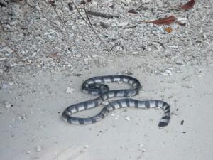 diese gestreifte Seeschlange hat es an den Strand gespuehlt, was fuer sie wohl den Tod bedeutet hat