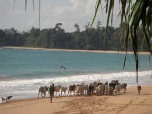 Der Anblick der uns am Christtag (25. Dezember) weckt - ein Hirte treibt seine Kuehe ueber den Strand