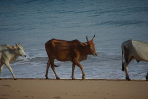 ...und natuerlich die immer praestenten Kuehe :-), wir sind halt doch in Indien