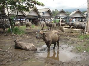 ...das Wahrzeichen, die -heilige Kuh- und das wichtigste Nutztier in Toraja, der Wasserbüffel...