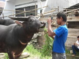 ...die Büffel werden gehegt und gepflegt, gefüttert und gespühlt, gestreichelt und begutachtet...