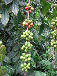 ...Kaffee, die Hochebene Torajas ist weltberühmt für den ausgezeichneten Kaffee...