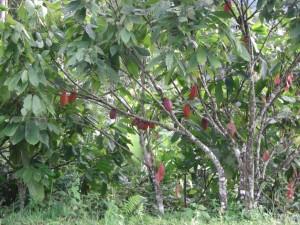 ...und ein weiteres Highlight, eine der einzigen bekannten Früchte die wir noch nicht gesehen haben...na eine Idee???