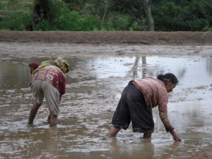 ...diese Frauen sammeln allerdings Schnecken, die es in den überfluteten Feldern massenweise gibt