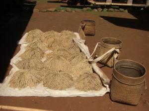 Das schöne Wetter wird ausgenutzt um den Reis zu trocknen - direkt am Äquator ist die Sonneneinstrahlung extrem stark