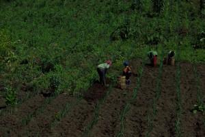 ...in der extrem fruchtbaren Vulkanerde waechst alles sooo gut, dass die Bauern ihre liebe Not haben das unerwuenschte Unkraut zu baendigen :-)