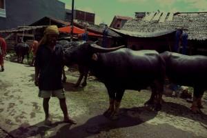 ...stolz präsentieren die Bauern ihre Tiere, die verkauft werden sollen...