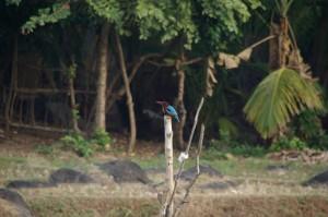 Schoene Vogelwelt am Strand - hier der Koenigsfischer in wundserschoenem Braun-Blau